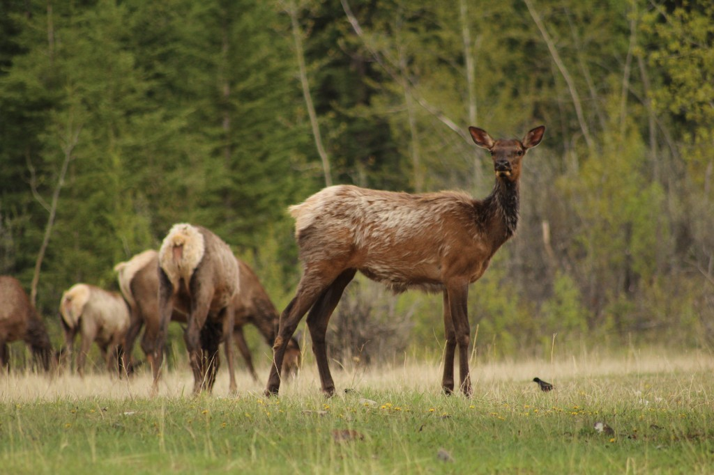 Elk In Canmore