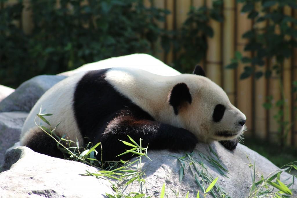 Giant Panda At Toronto Zoo